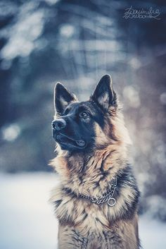 Bonus by dubowik on DeviantArt #german #shepherd