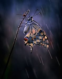 rain_photographs_and_pictures_22 This is a gorgeous photograph of a butterfly in the rain by Antonio Grambone