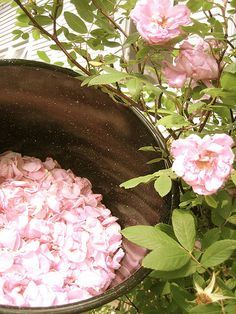 Five Green Acres » You might want to make your own rose water.