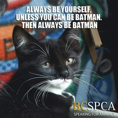 Is it just us, or does Bluebell look like batman?! Does your cat or other pet resemble a superhero or celebrity?   This kitten is available for adoption through our Satellite Adoption Center at Garibaldi Veterinary Hospital. Contact BC SPCA Squamish for more information.