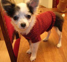 Knitting a small dog sweater (free pattern) Knitted Dog Sweater Pattern, Knit Dog Sweater, Dog Pattern, Free Pattern, Crochet Dog Clothes, Pet Clothes, Knitting Patterns Free Dog, Small Dog Sweaters, Puppy Coats