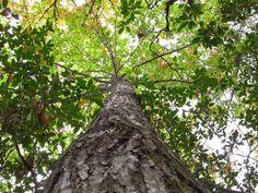 N.C. part of effort to restore mighty chestnut trees
