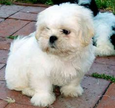 Shih Tzu - Dogs and Cats Wiki