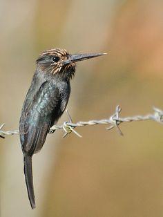 Foto cuitelão (Jacamaralcyon tridactyla) por Celi Aurora | Wiki Aves - A Enciclopédia das Aves do Brasil