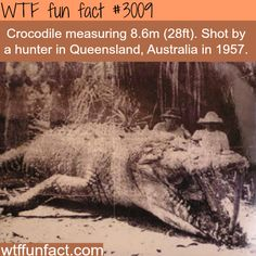 "Huge 8 meter Crocodile shot in Australia. (Is it just me, OR do Giant ""SIZED"" Creatures live in Australia?) -  WTF fun facts"