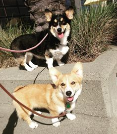 Scout the Corgum, Long walkie makes happy corgis. #corgi...