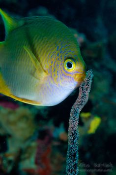 Damsel fish tends to her newly laid eggs on wire coral