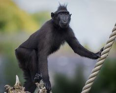 https://flic.kr/p/oZLoK9 | Neo, Sulawesi Crested Black Macaque @ Durrell Wildlife Conservation Trust