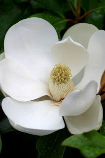 """A closeup of a Southern Magnolia flower reveals its relation to the lotus. It has a marvelous lemony perfume..."" -- Powell Gardens, Kansas City, MO"