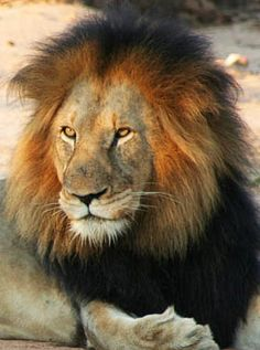 Safari en Afrique - Lion dans la réserve de Karongwe (Afrique du Sud) - http://www.absolu-voyages.com/safaris.htm