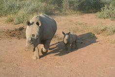 DZLnoster It is Rhino Friday peeps! Today you get to meet another one of the rhinos we are protecting. This Swahi-li and her beautiful boy called #DZLnoster the little bearer of hope! #rhinos #conservation #rhinofriday #DZL #RhinoConnect