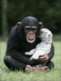 Chimpanzee helps raise white tiger cub (and other animals). Baby White Tiger, White Tiger Cubs, White Tigers, Cute Baby Animals, Animals And Pets, Funny Animals, Orang Utan, Amor Animal, Cute Animal Pictures