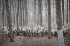 Стадо овец в пригороде Пекина. В последние дни в китайской столице вновь наблюдается сильный смог. Фотографии Животных, Сельскохозяйственные Животные, Милые Животные, Фотожурналистика, Акварель, Леса, Картинки, Naturaleza, Живописные Пейзажи