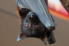 PETALI DI CILIEGIO ...per coltivare la speranza: In difesa degli animali: i pipistrelli