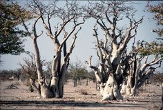 Ghost tree forest