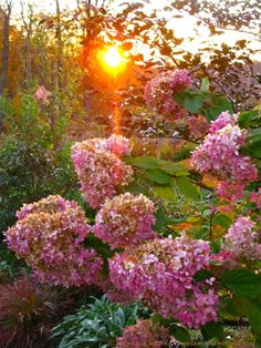 Hydrangea paniculata 'Limelight' Changes Hue from Pale Ivory with a Hint of Lime to Rose-Kissed Ivory to Rust.