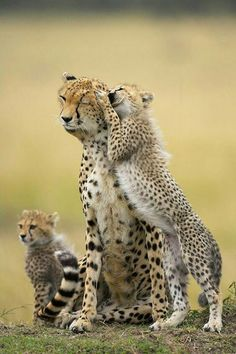 """Mommy? Can we please go now? I'm tired of staring at antelope all day. Please Mommy?"" Cheetah family"