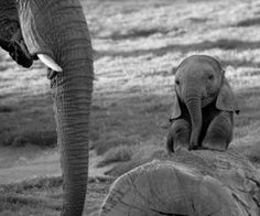 Pets are really cute and we love them a lot! Some people love exotic pets like we can see one on these photos. These small pets are very cute and many people Cute Baby Elephant, Cute Baby Animals, Funny Animals, Wild Animals, Animal Babies, Mama Elephant, Elephant Family, Newborn Animals, Happy Elephant