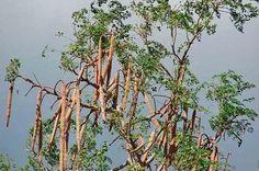 La moringa es un árbol originario de Asia y África, usualmente mide unos 10 mts. de altura, de follaje muy frondoso. Últimamente también cultivado en América, Asia, África y también Europa. Contiene unas trece especies de climas tropicales y subtropicales de diferentes tamaños. En la moringa, podemos usar sus hojas, sus frutos, sus semillas y …