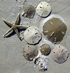 Sand dollars and a starfish.