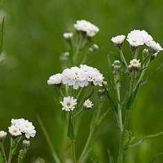 Sneezewort plant / flower - Excellent for mixed or herbaceous borders, the attractive white button-like double flowers will attract a variety of insects. This is also a popular plant for cutting and drying.