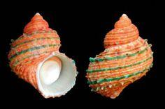 Turbo (Marmarostoma) argyrostomus perspeciosus  (Iredale, T., 1929)  Green-ridged Turban  Shell size  35 - 70 mm  N Australia
