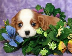 Adorable Cavalier King Charles Spaniel puppy