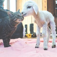 15 Sheep You Can't Believe Even Exist. 6. The most feline-friendly lamb ever.