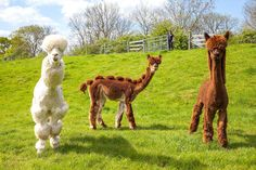 Alpacas Shaved to Looks Like Dinosaurs and Poodles