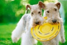 how to care for your wire fox terrier - Google Search