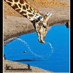 Thirsty giraffe in Namibia Africa