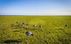 Emas no Parque Nacional da Lagoa do Peixe (RS)