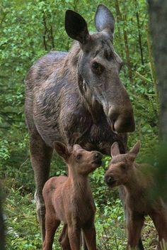 Moose & Babies