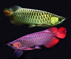 "Arowanas are freshwater bony fish of the family Osteoglossidae, sometimes known as ""bonytongues""."