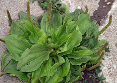 You've stepped on it, ignored it, and tried to eradicate it from your lawn. However, this innocuous little weed is one of the most useful medicines on the planet, just begging to be harvested. There are two major types of plantain in BC, Canada: Lance and Broadleaf. Generally, all 200-plus varieti…