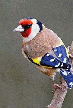 Tikli ,Goldfinch (via All sizes Pretty Birds, Love Birds, Beautiful Birds, Animals Beautiful, Cute Animals, Birds 2, Animals Dog, Small Birds, Exotic Birds