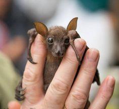 Baby bat, zoo born?, holding on between upheld fingers, frontal eye gaze