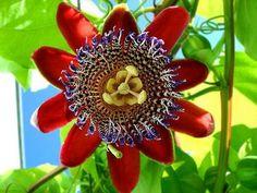 FRESCORES: Flor do Maracujá