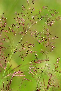 Полевица тонкая, нитевидная (Agróstis capilláris)