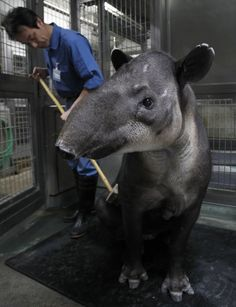 """""""A zookeeper brushes the back of a baird's tapir, an endangered species, inside her enclosure at the Preservation and Research Center in Yokohama, south of Tokyo October 25, 2010. The facility, which is located at the breeding zone of Yokohama Zoological Gardens, is closed to the public to allow selected endangered species to breed in the most suitable environments and to study the endangered animals, according to the center.""""  REUTERS/Yuriko Nakao"""