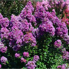 Purple Magic Crapemyrtle from Wayside Gardens on Catalog Spree, my personal digital mall.