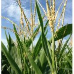 Corn production and yields are shaping up to be records in 2014, according to the latest forecast from the United States Department of Agriculture (USDA) in its World Agricultural Supply and Demand Estimates (WASDE) report released Tuesday.