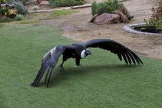 Andean Condor Weird Birds, All Birds, Birds Of Prey, Raptor Bird Of Prey, Andean Condor, Eagle Logo, Bird Crafts, Big Bird, Birdwatching