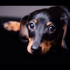 coplandphotography:Puppy dog eyes. #miniaturedachshund #dachshund