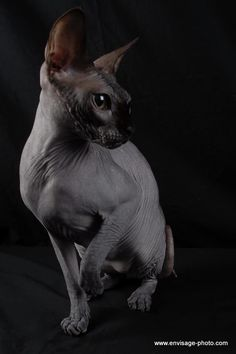 blue sphinx cat WANT!