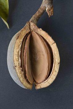 Cardwellia sublimis seed pod  Cardwellia sublimis. Common Name - Bull Oak. Proteaceae