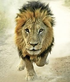 Running Lion via stable