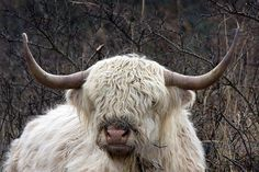 White Scottisch Highland cow in Lauwersmeer ( Friesland,Holland) -he's look like Appa,the sky-bison of Avatar,the last airbender but without the Arrow on his head.hihi !