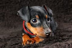 Miniature Pinscher puppies for sale! Get matched with a pupper from a responsible Miniature Pinscher breeder near you. Min Pin Puppies, Cheap Puppies, Puppies For Sale, Mini Pinscher, Miniature Pinscher, Small Dog Breeds, Small Dogs, Best Apartment Dogs, High Quality Dog Food