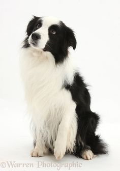 Black-and-white Border Collie dog